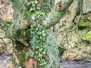 tree on Keld beck